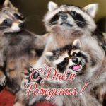 С днем рождения открытка енот скачать бесплатно на сайте otkrytkivsem.ru