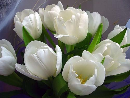 Тюльпаны фото - скачать бесплатно на otkrytkivsem.ru